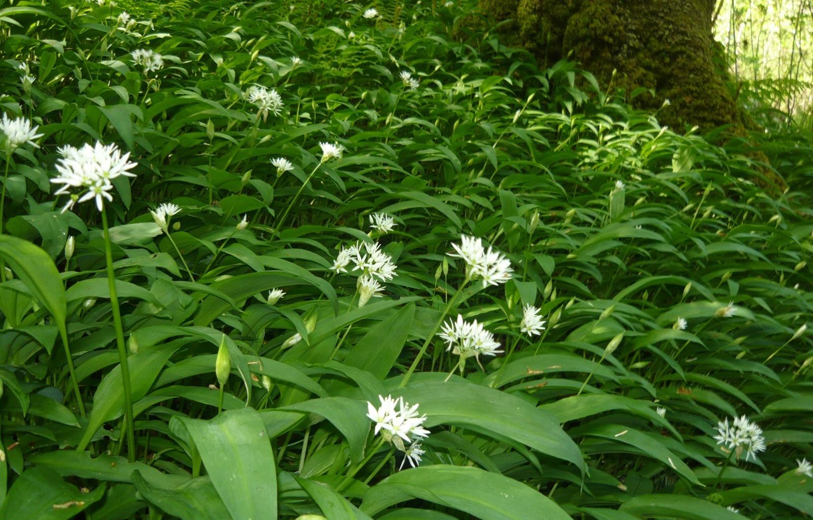 цветы черемши